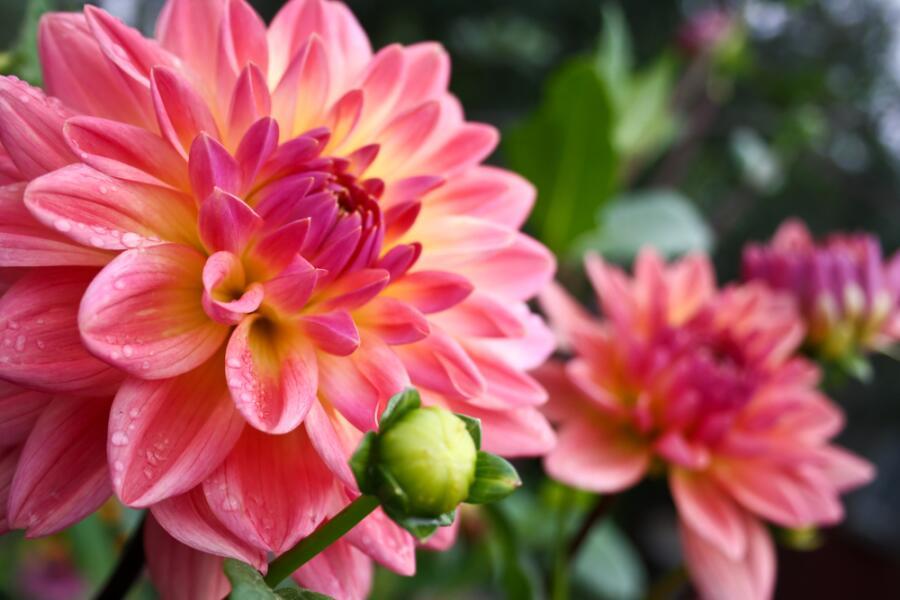 Георгина - цветок из семейства Астровых