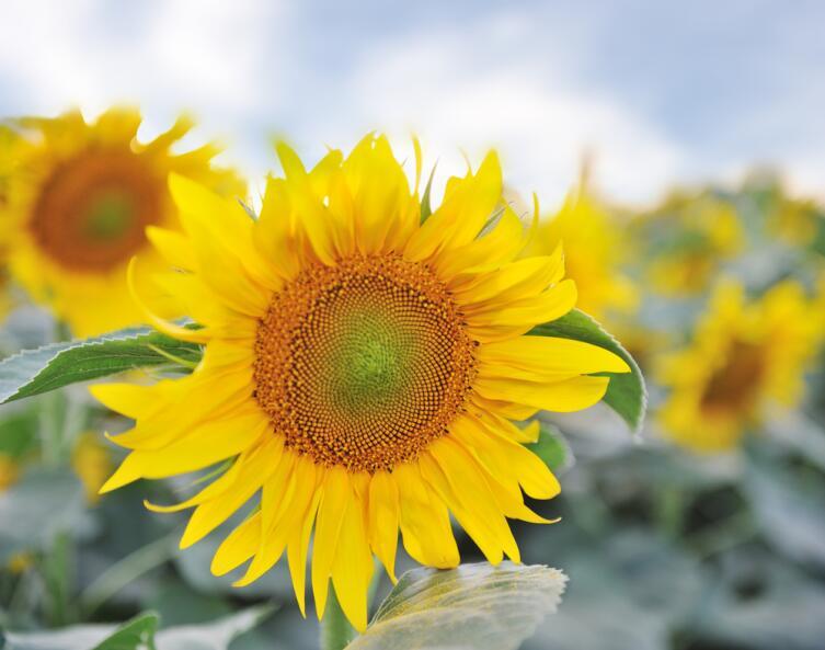 Цветок подсолнечника
