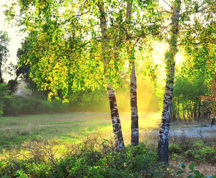 Немногие деревья могут расти рядом с березой