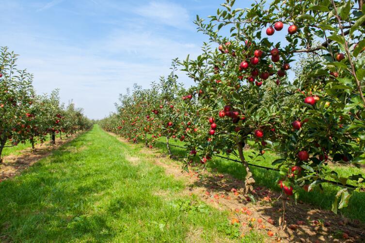 Молодую яблоню не стоит садить на месте старой
