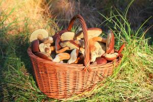 Для сушки годятся только трубчатые грибы, поскольку пластинчатые будут горчить.