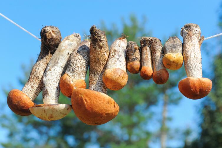 Мыть грибы перед сушкой не нужно