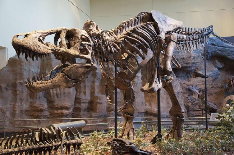 Тираннозавр Рекс в экспозиции Музея естественной истории Карнеги