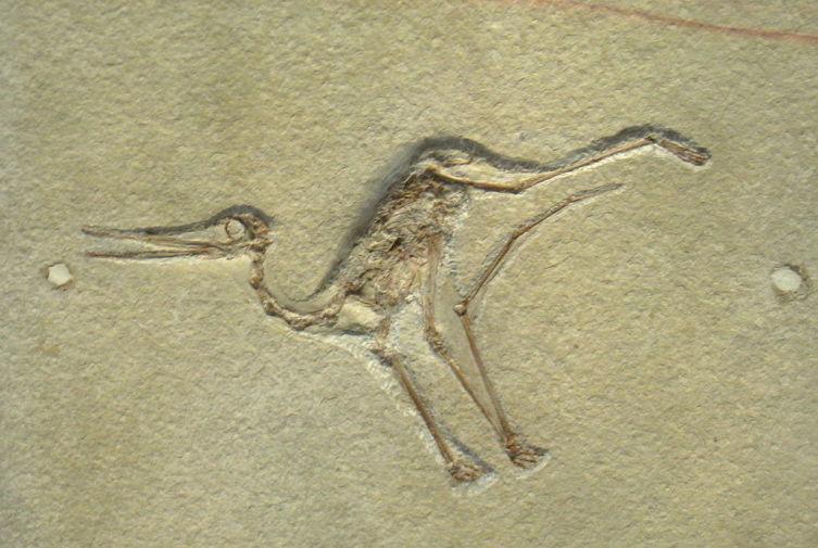 Копия образца птеродактилоида из Зольнхофенских известняков