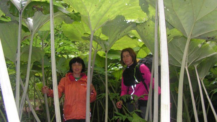 В чем причина гигантизма растений Сахалина?