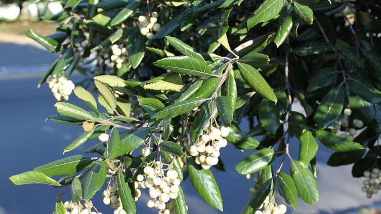 Куртисия, или ассегайное дерево