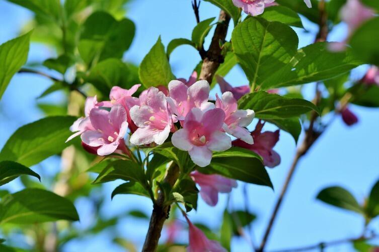 Говорят, цветки жасмина также обладают магической силой