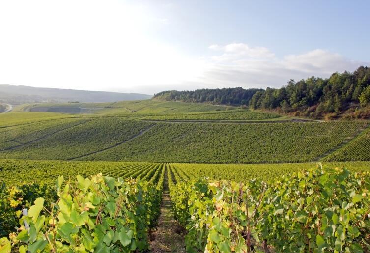 Виноградники Шабли в Бургундии