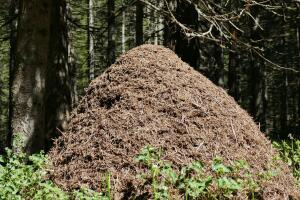 Какие вредные привычки губят самых работящих насекомых? Тайны муравейника