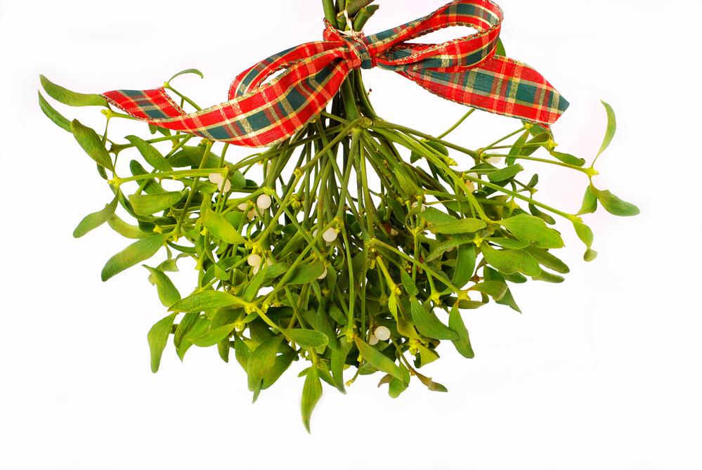 Что мы знаем о растениях - знаках цветочного гороскопа? Омела