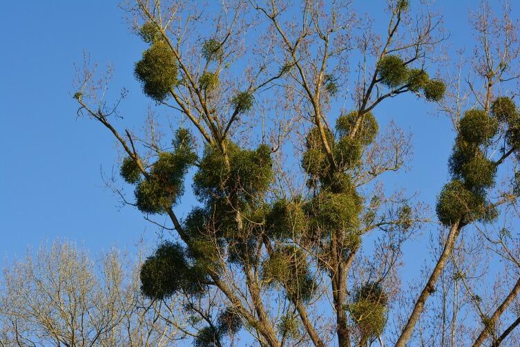 Омела, паразитирующая на дереве