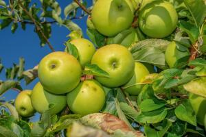 Юрий Иванов. Волгоградские яблоки. А как на наши похожи!