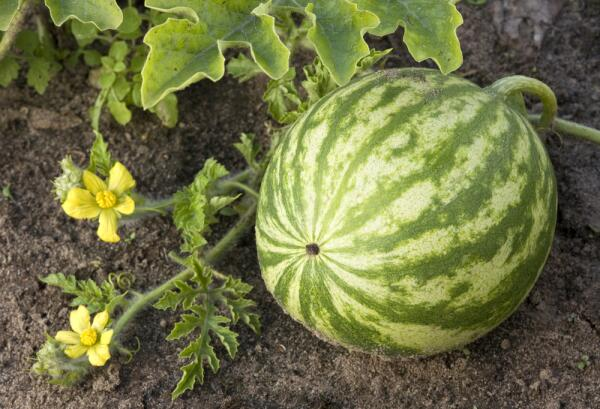 Как приготовить фруктовый салат в арбузе?