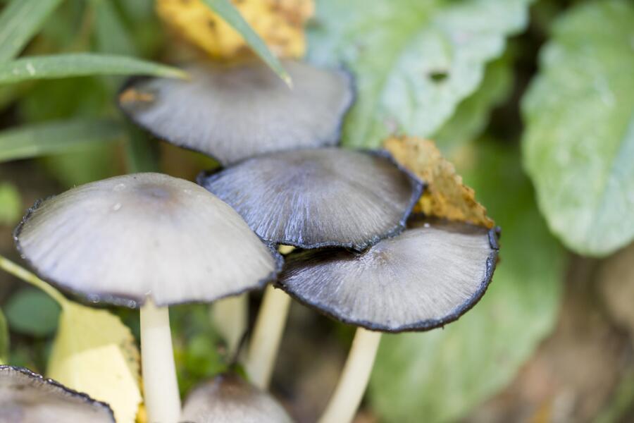 Какие грибы опасны для жизни? Часть 2