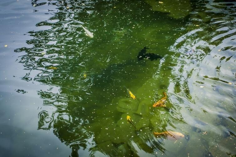 Не всегда рыб можно оставить на зимовку, некоторых нужно переводить в аквариумный режим
