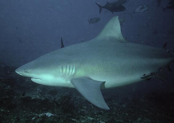 Тупорылая акула, или серая бычья акула, или акула-бык