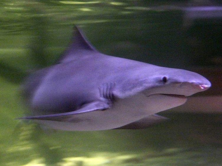 Пресноводная серая акула
