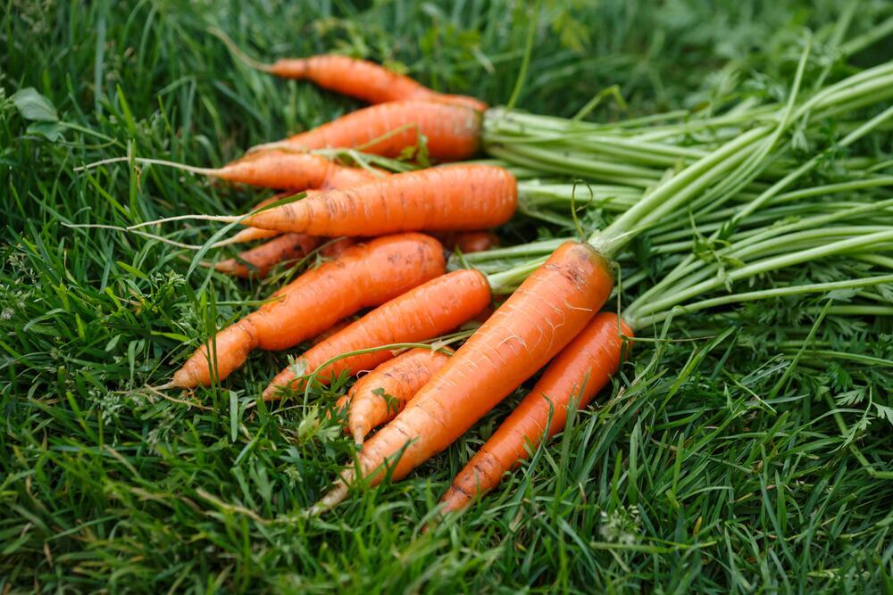 Почему морковка стала оранжевой? | Растения | ШколаЖизни.ру