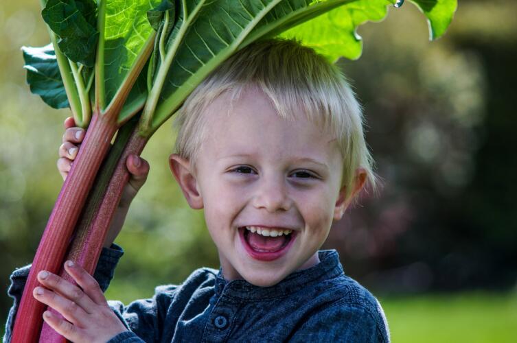 Как правильно вырастить ревень?