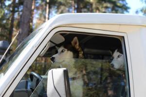 Могут ли собаки управлять автомобилем?