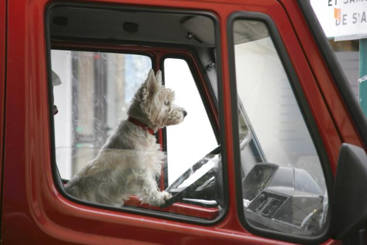 Собаки не могут дотянуться до педалей, поэтому и не водят автомобиль