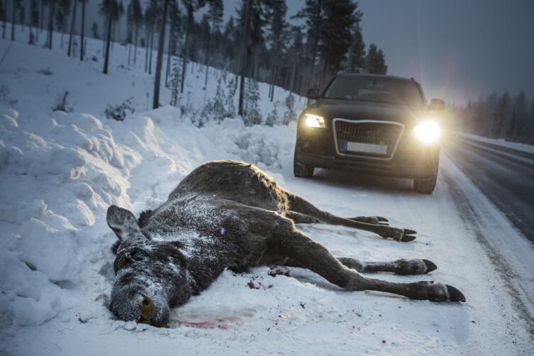 Что делать, если сбил лося (оленя, кабана...)?