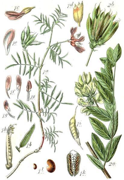 Ботаническая иллюстрация Якоба Штурма из книги Deutschlands Flora in Abbildungen, 1796: виды астрагала — Астрагал песчаный (1) и Астрагал солодколистный (2)