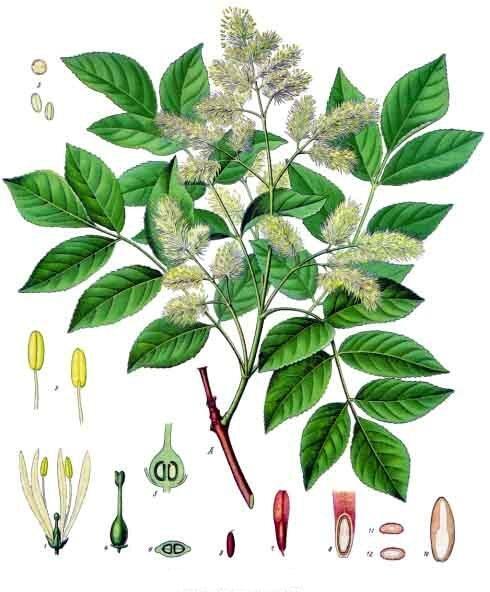 Ясень манновый (Fraxinus ornus). Ботаническая иллюстрация из книги Köhler's Medizinal-Pflanzen, 1887 г.