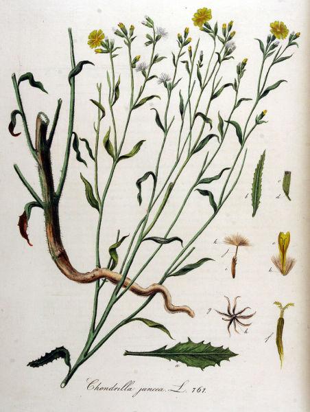 Хондрилла ситниковидная. Ботаническая иллюстрация из книги Яна Копса Flora Batava, 1800—1934 гг.