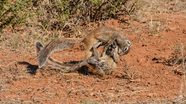 Ухаживания африканских сусликов