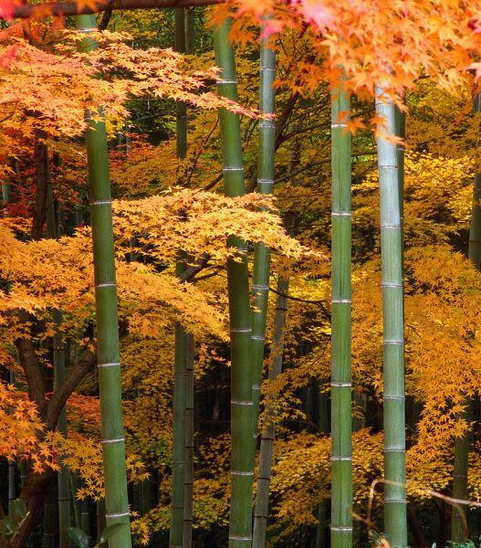 Заросли клёна и бамбука в Японии