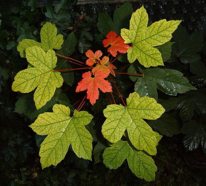 Листья белого клёна