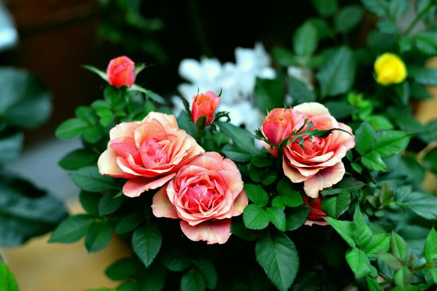 Что прекраснее: крапива или роза?