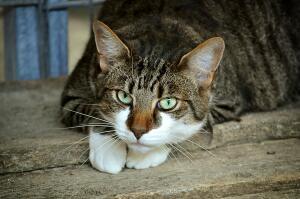 Как кошка дрессирует человека?