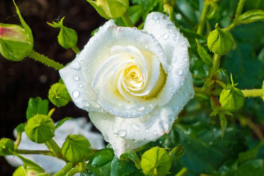 Когда должны цвести розы?