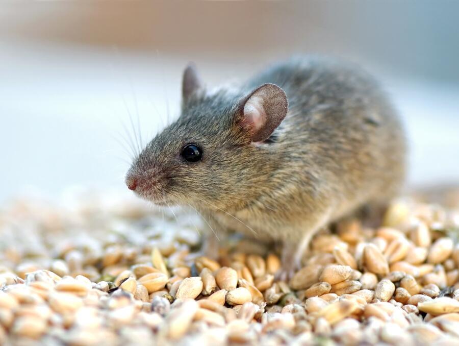 Что такое мышиный рай?