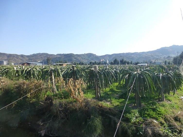 Поле кактусов, дающих плод питайя, в округе Ляньцзян, Фуцзянь, Китай