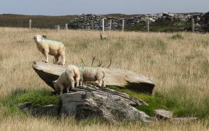 Как добиться повышенной лохматости у овец?