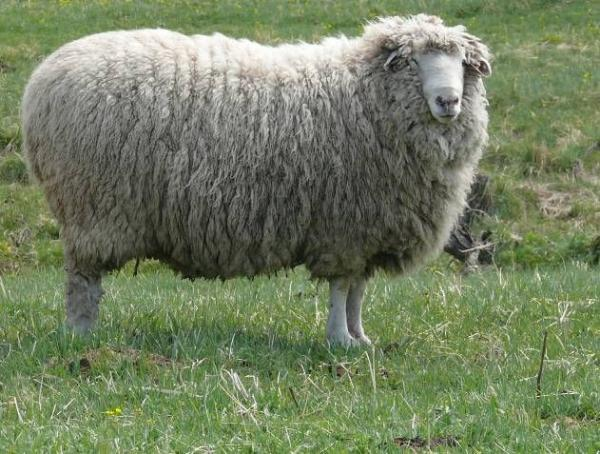 Алтайская овца