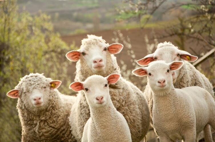 Овцам надо обязательно давать поваренную соль и мел