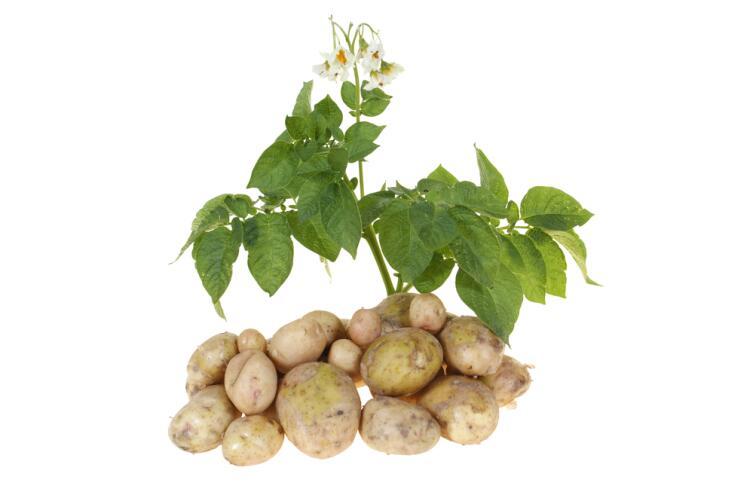 Почему картошка может быть лекарством?