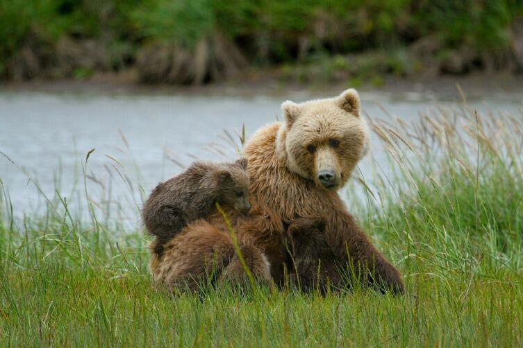 Медведица зовет медвежат на обед и они это понимают