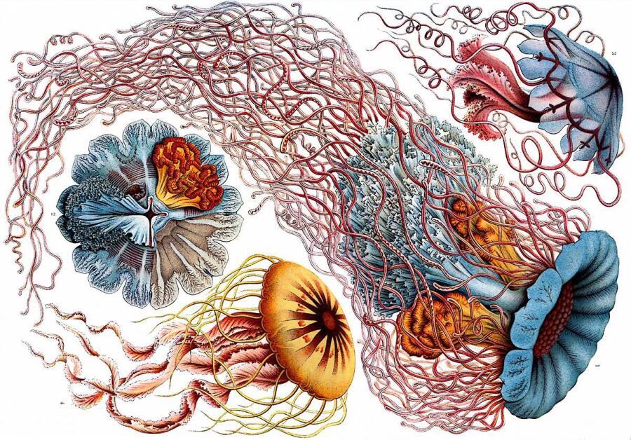 Иллюстрация из книги Эрнста Геккеля «Красота форм в природе», 1904 г.