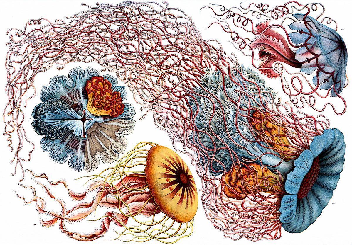 Красивы ли кишечнополостные? Эрнст Геккель и его многографии