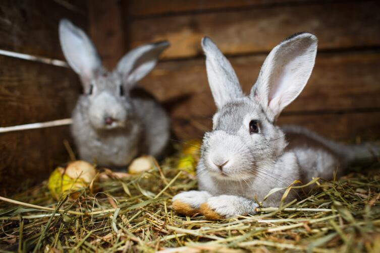 Как выращивать кроликов на мясо, шкурки и племя?