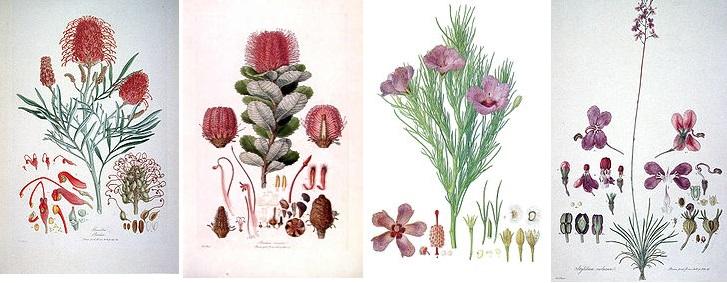 Ботанические иллюстрации работы Ф. Бауэра из книги «Illustrationes Florae Novae Hollandiae»