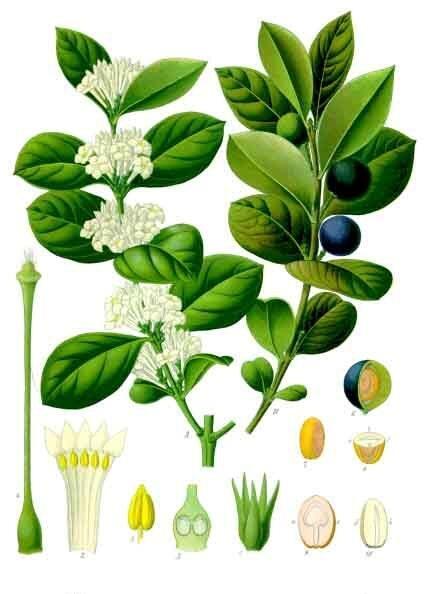 Акокантера абиссинская. Ботаническая иллюстрация из книги Köhler's Medizinal-Pflanzen, 1887 г.