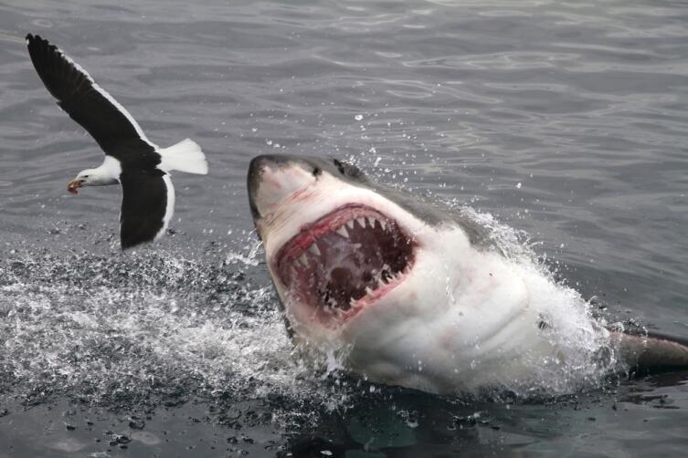 Если акула собралась позавтракать, не мешайте!