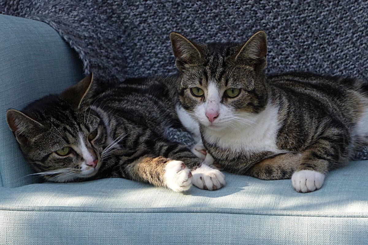 Чем грозит мочекаменная болезнь у кошек: как её избежать или лечить?