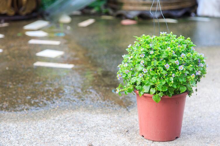 Как выращивать экзакум? Экзотика в доме